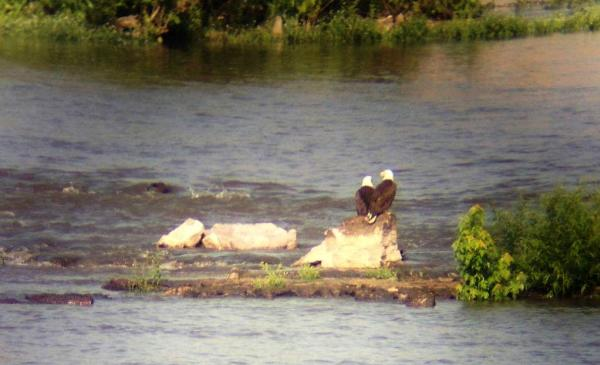 Two Eagles sitting on a rock at the Falls of the Ohio
