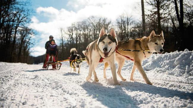 Huskies pulling sled on Laurel Mountain State Park trails