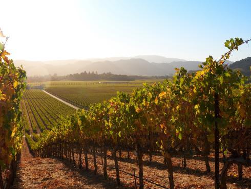 Fall Vineyard row in Napa Valley