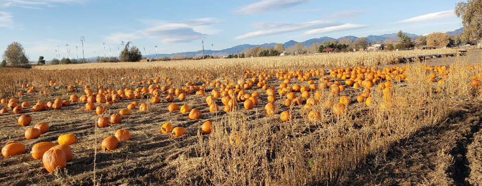 Pumpkin patch at the 7th Generation Farm in Boulder