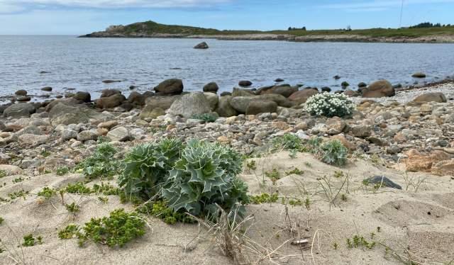 Strandtorn har en av sine beste lokaliteter i Nord-Europa på Lista. Dette bildet er fra Haugestranda.