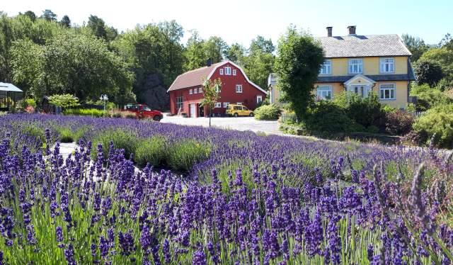 Veslekollen Bruk Lavendel & Urter på Justøya i Lillesand
