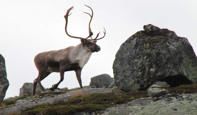 Reindeer in the Setesdal mountains