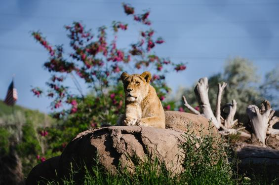 Female Lion at Utah's Hogle Zoo Brew
