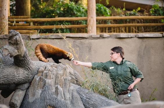 Red Panda at Utah's Hogle Zoo Brew