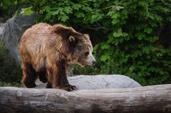 Bear at Utah's Hogle Zoo Brew