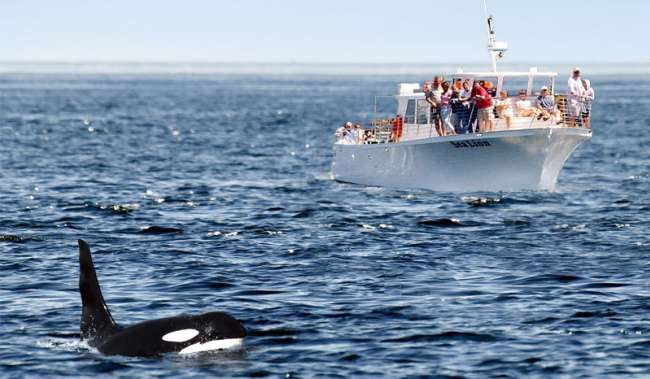 whale watch by boat in Puget Sound