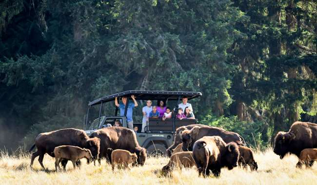 Group peering out of jeep in tall grass at herd of Bison