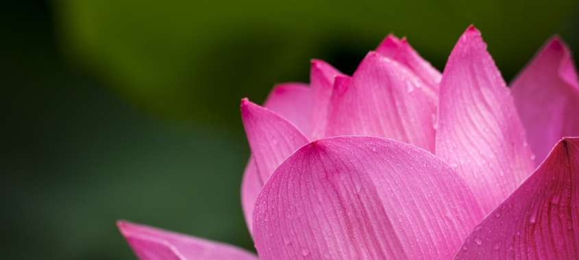 Close-up of pink lotus flower