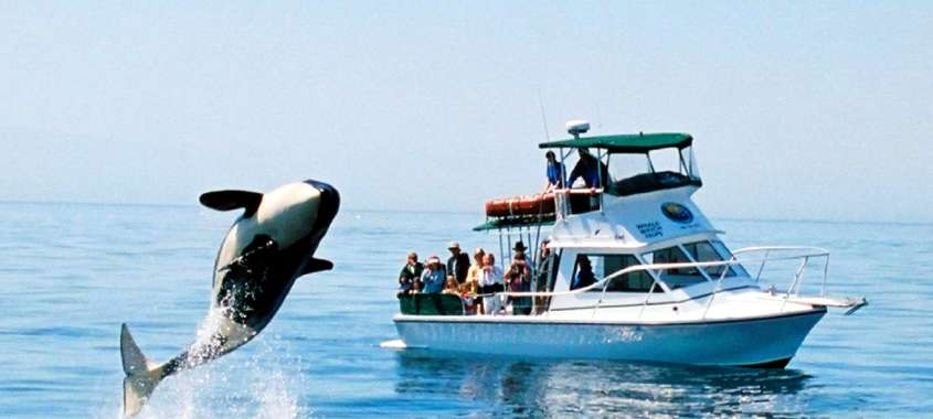 Orca whale jumping out of water near whale watching tour boat on Puget Sound