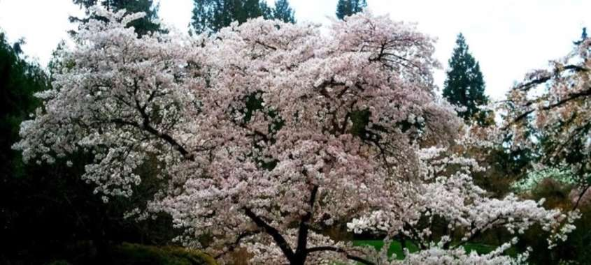 Seattle Cherry Blossoms