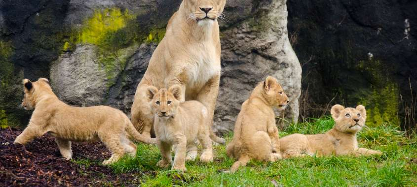 Lioness and cubs at Woodland Park Zoo in Seattle