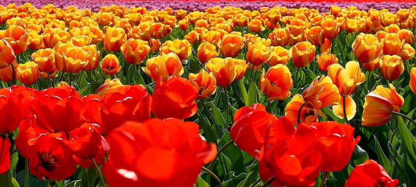 Field of Red, Orange, and Yellow Tulips at Mt. Vernon Festival in Washington