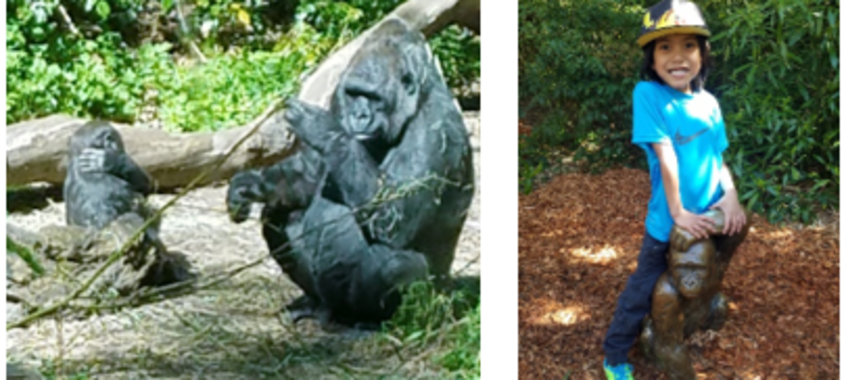 Gorillas at Woodland Park Zoo in Seattle and young smiling boy