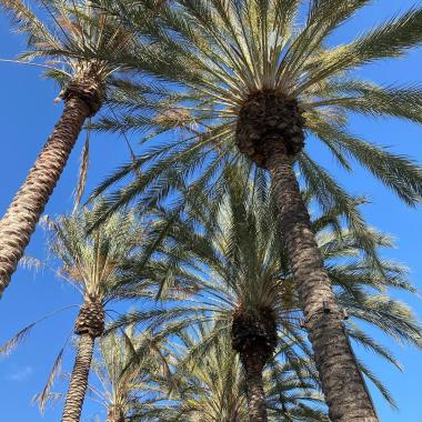 Anaheim palm trees