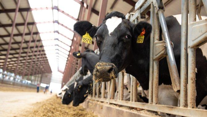 Sassy Cow Thumb #1