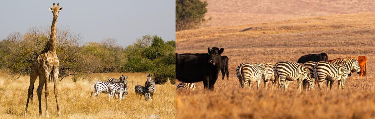 Africa vs SLO CAL