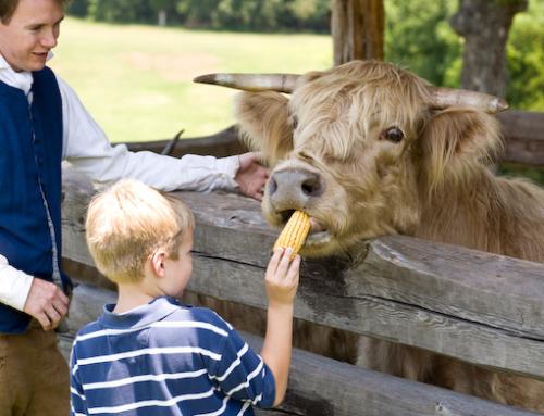 Rural Hill Highland Cow