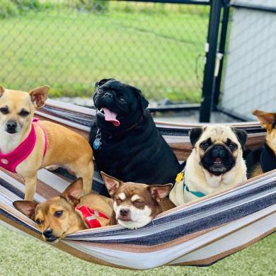 Dogs in a hammock at Phoebes K9 Resort