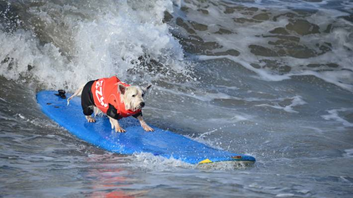 """991c8a27840d Here in Surf City USA, surfing extends far beyond the average """"hang ten.""""  Every year, salty dogs join the ocean action in Surf City Surf Dog (SCSD)  at ..."""