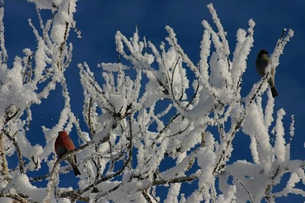 a male and female grosbeak in a snow covered tree