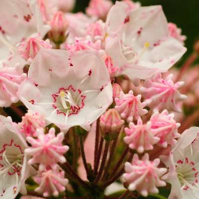 Where to See Mountain Laurel in the Laurel Highlands