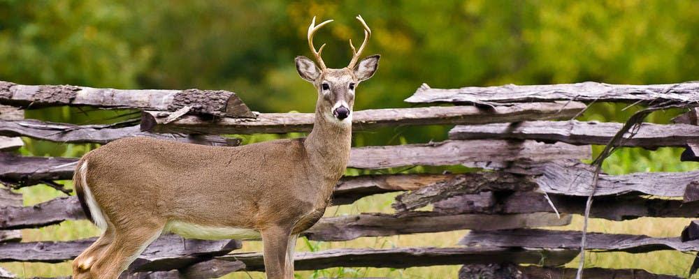 A deer stands alongside a wooden fence at Wilson's Creek National Battlefield in Republic, Missouri
