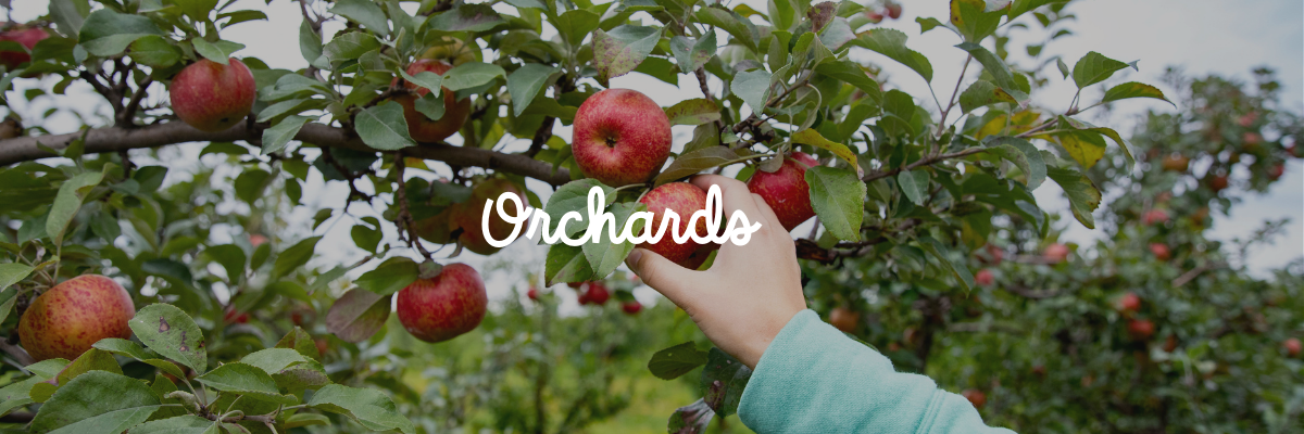 "Picking an apple from an apple tree with the word ""orchards"" on top of the image"