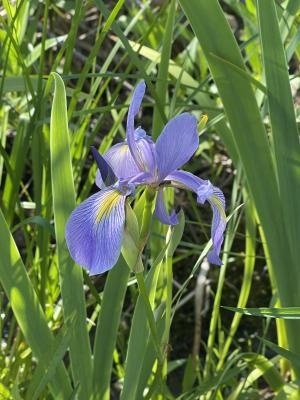 Wild Iris at State Park