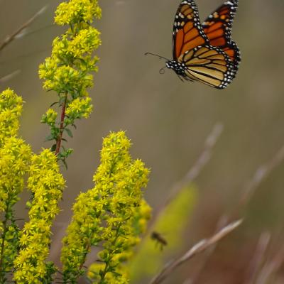 Forks of the River Monarch Butterfly