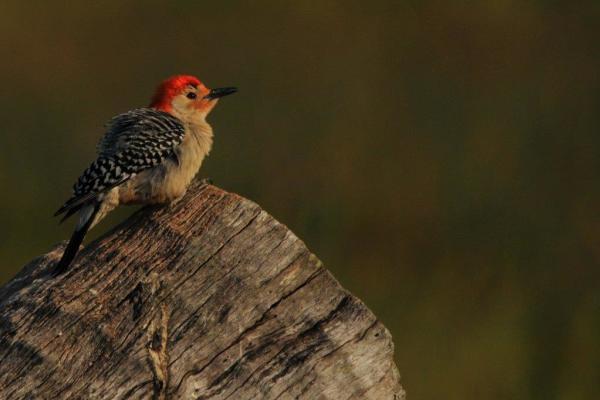 Birding in Cayuga County