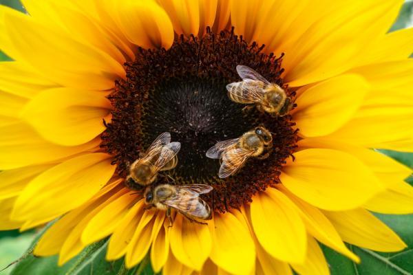 Honey bees on a sundflower
