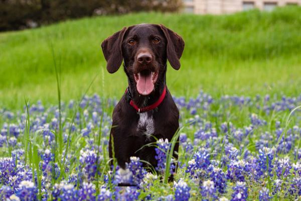 Dog in Bluebonnets