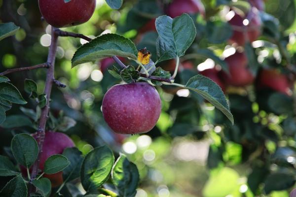 CherryHawk Farm Apples