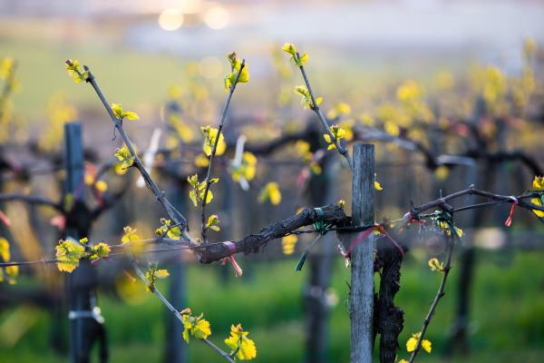 spring blooms in the vineyards in Finger Lakes Wine Country