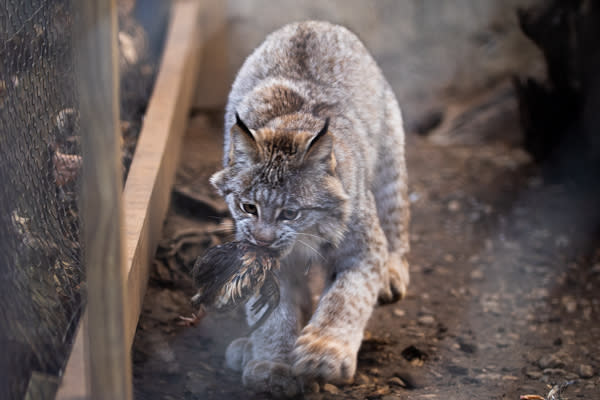 ZooAmerica Canada Lynx