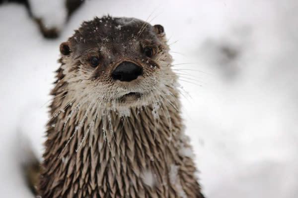ZooAmerica River Otter