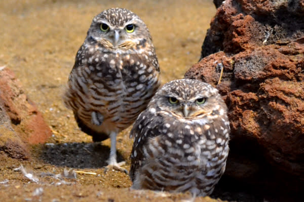 ZooAmerica Burrowing Owls