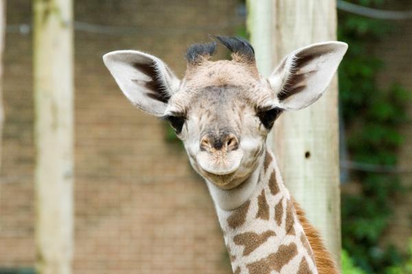 houston zoo giraffe