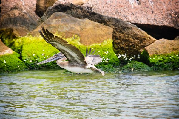 Pelican at Pintail Wildlife Drive