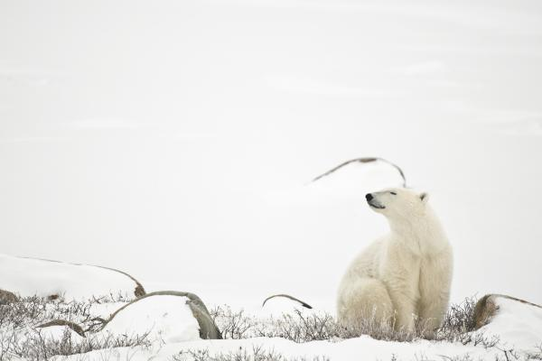 Polar bear sitting on the frozen tundra near Churchill, Manitoba