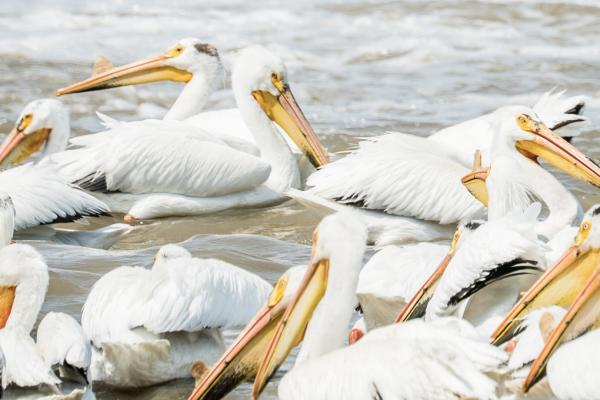 Pelicans at Lockport - Manitoba Virtual Background