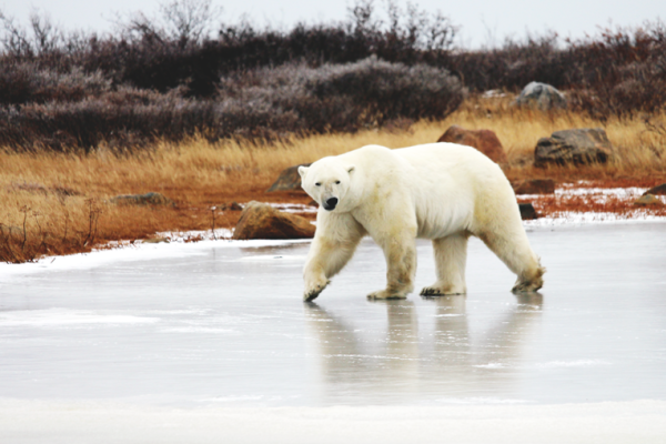 Polar Bear at Seal River Heritage Lodge in northern Manitoba