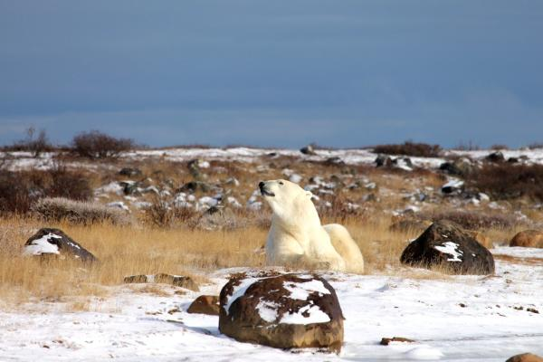 Polar bear at Seal River Heritage Lodge