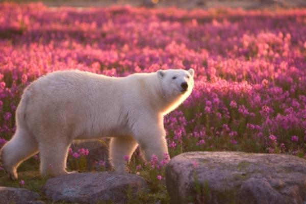Polar bear walks through a field of purple fireweed flowers