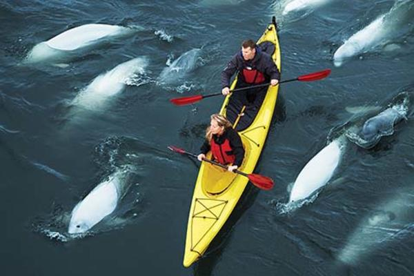 kayaking with belugas in Churchill