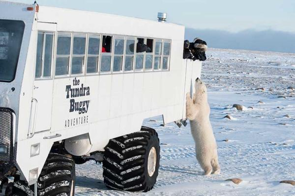 Polar bear standing at side of Tundra Buggy