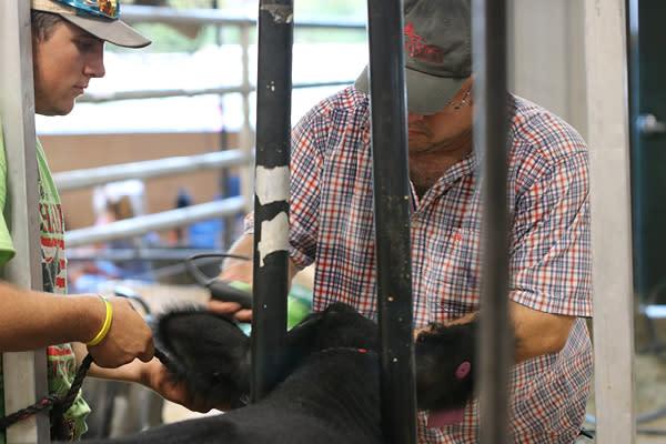County Fair Cattle