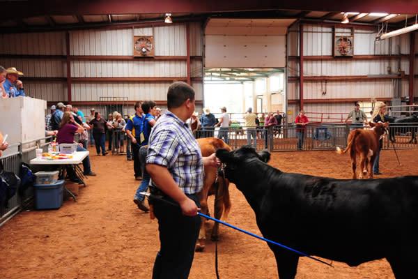 County Fair Cattle 2