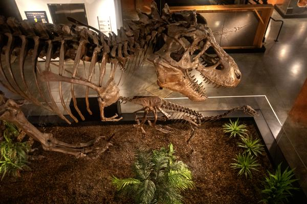 Overhead view of Devil Rex at the Houston Museum of Natural Science at Sugar Land.